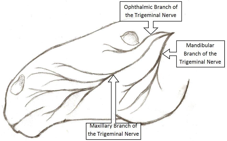 schéma d'une tête de cheval avec le nerf trijumeau